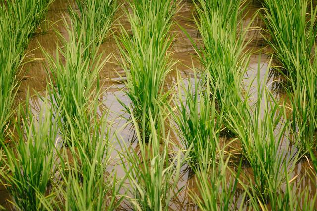 田んぼに水が浸るの写真