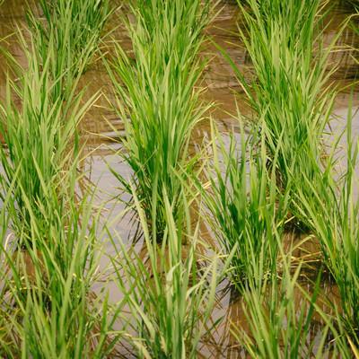 「田んぼに水が浸る」の写真素材