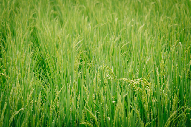あおあおしく茂る稲の写真