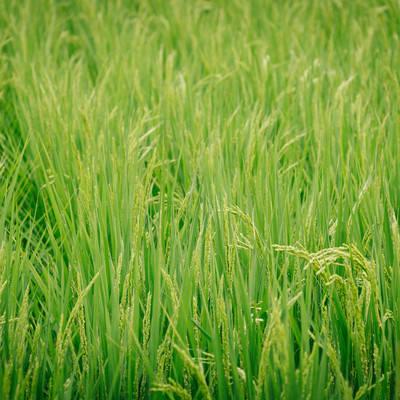 「あおあおしく茂る稲」の写真素材