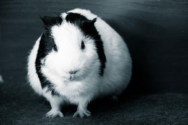 モルモットさん(モノクロ)の写真
