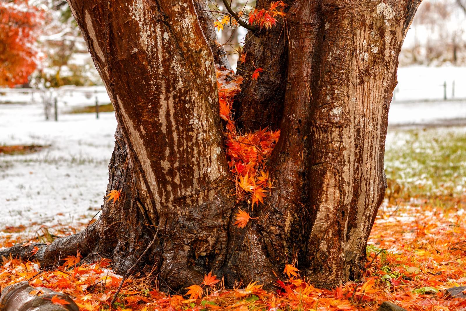 「木の間に積もった紅葉木の間に積もった紅葉」のフリー写真素材を拡大