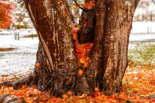 木の間に積もった紅葉の写真