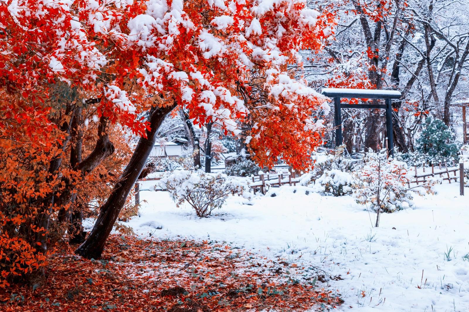 「赤い紅葉に積もる雪」の写真