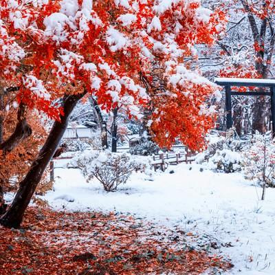 赤い紅葉に積もる雪の写真