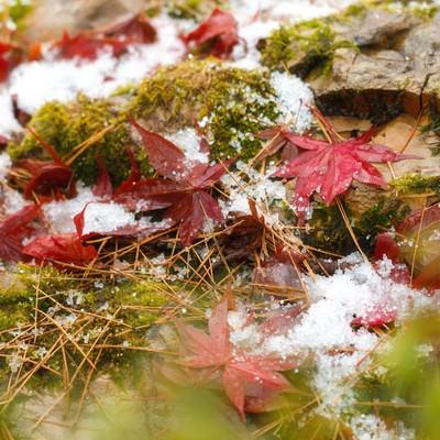 苔と雪と落ち葉の写真