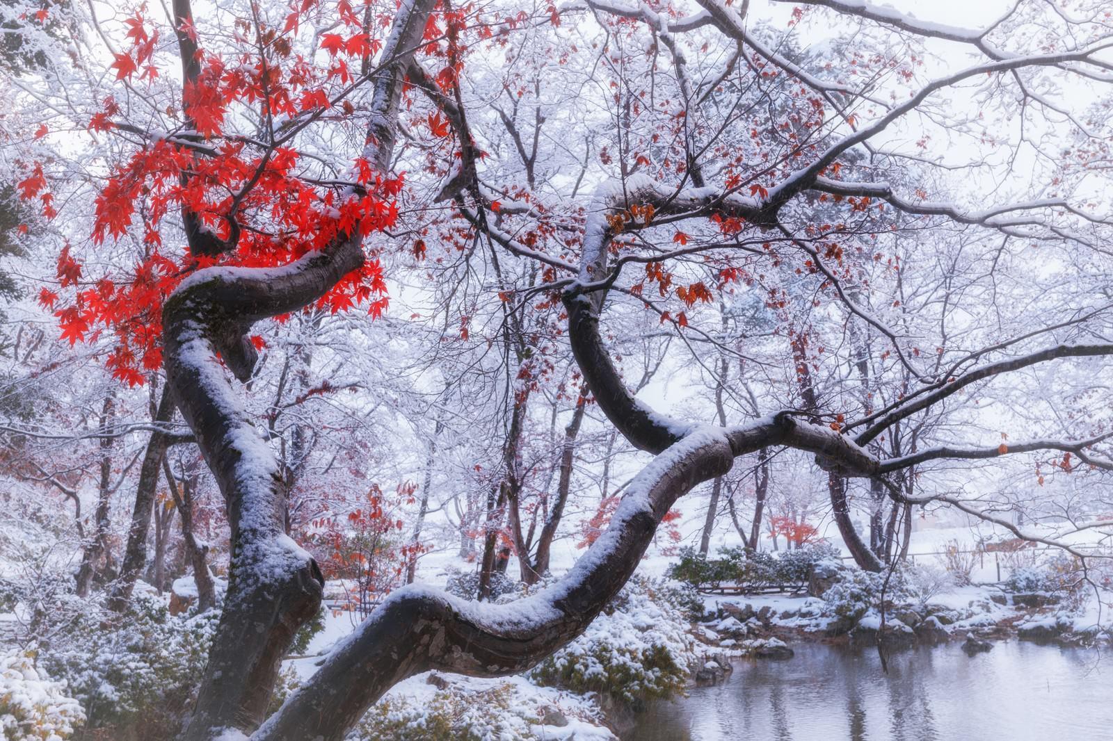 「雪が降った晩秋の庭園」の写真