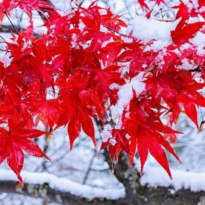 雪と鮮やかなもみじの写真