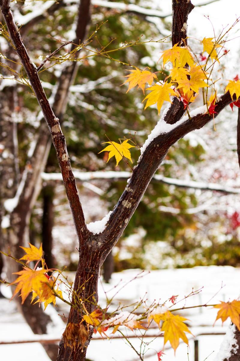 「雪と黄葉雪と黄葉」のフリー写真素材を拡大