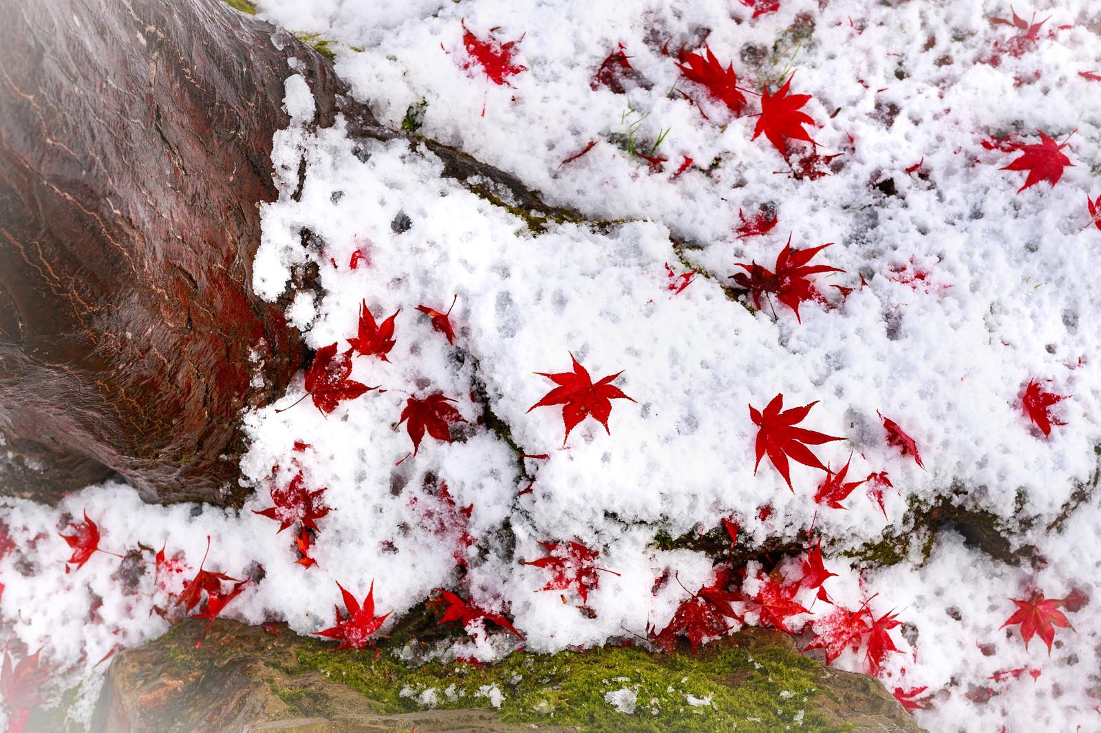 「雪の上に落ちたもみじ」の写真