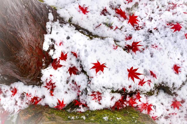 雪の上に落ちたもみじの写真