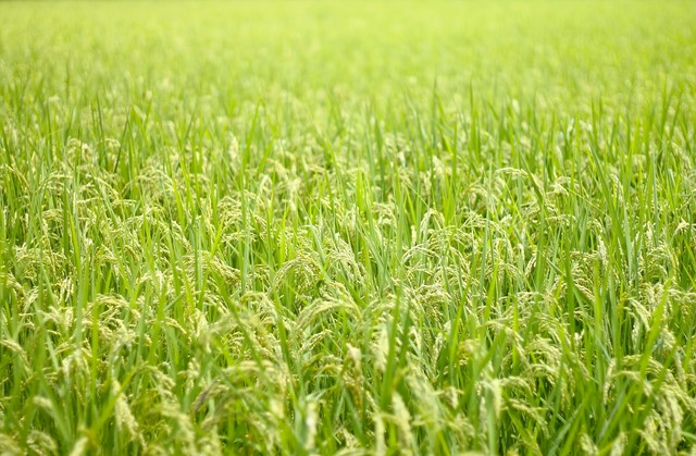 広がる夏の田んぼと稲の写真