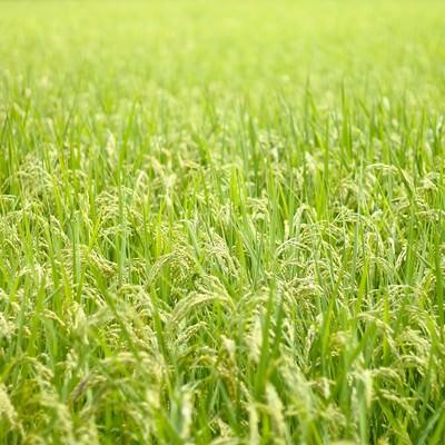 「広がる夏の田んぼと稲」の写真素材