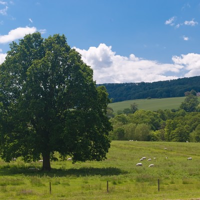 ひつじと大きな木の写真