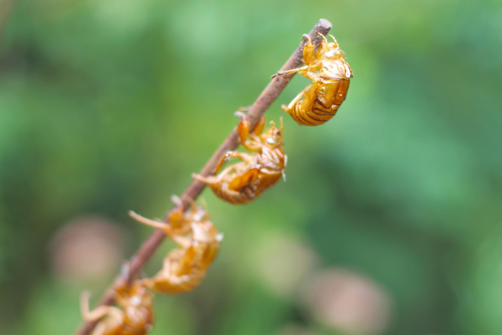 「連なる蝉の抜け殻」の写真