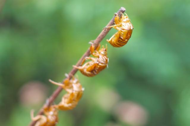 連なる蝉の抜け殻の写真