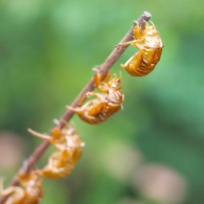 「連なる蝉の抜け殻」の写真素材