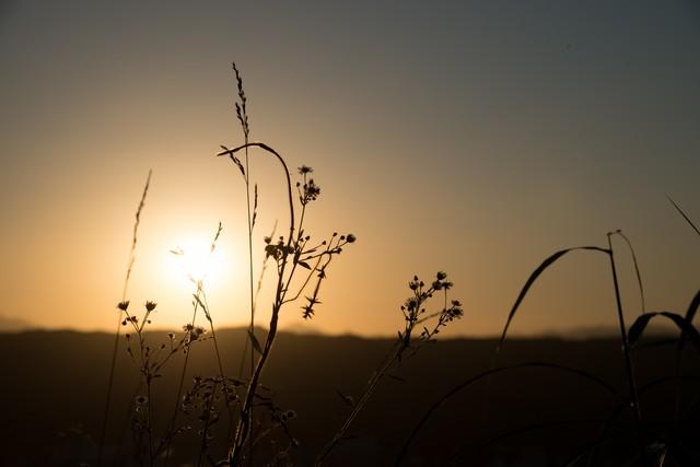 夕陽に照らされた草の写真