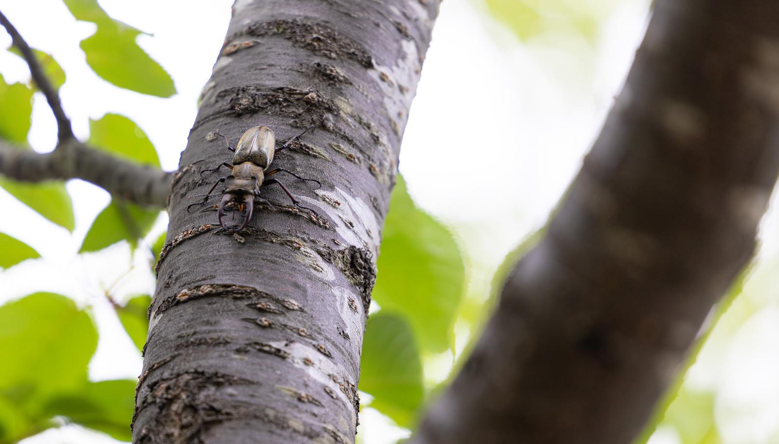 「木に捕まるミヤマクワガタ」の写真