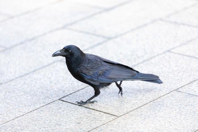 徘徊中のカラスさん(鳥)の写真
