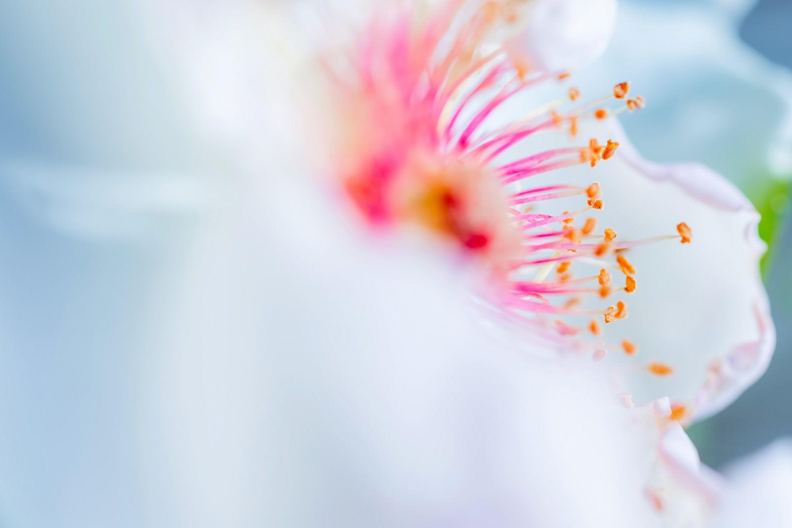 「白い花びらとピンクの雄しべ(マクロ)」の写真