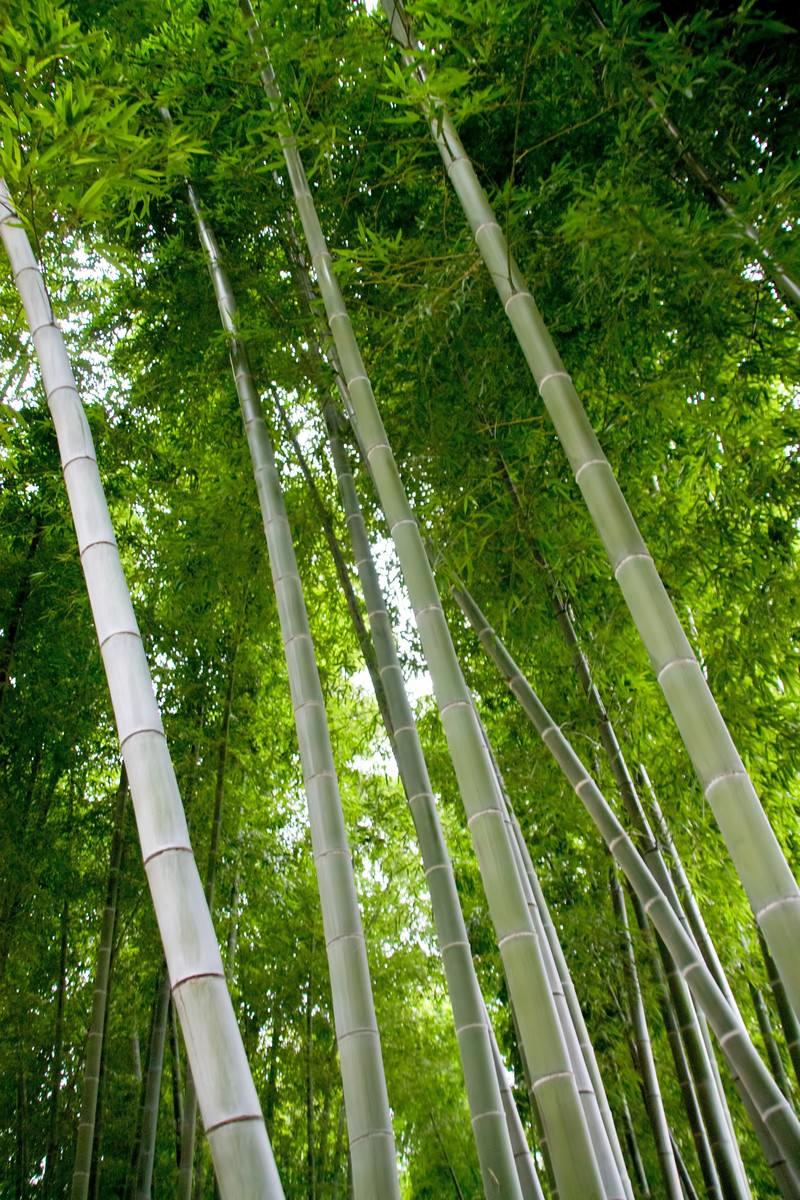 「青々とした竹林」の写真