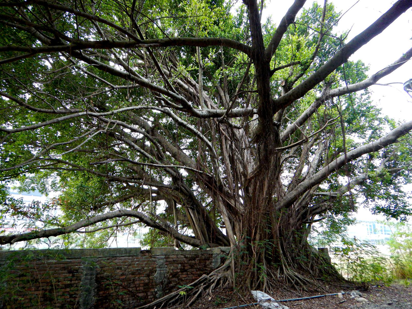「レンガの壁を覆い尽くすガジュマルの木」の写真