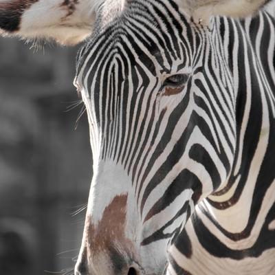 動物園のシマウマの写真
