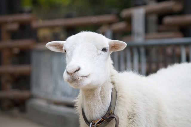 『っち!』上唇を噛む羊さんの写真