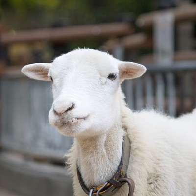 「『っち!』上唇を噛む羊さん」の写真素材