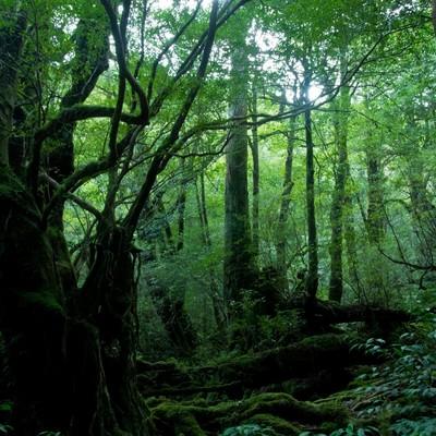 「屋久島の森」の写真素材