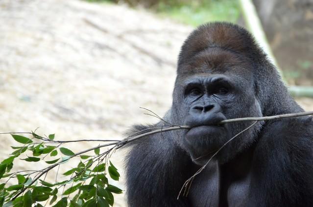 枝を咥えるゴリラの写真