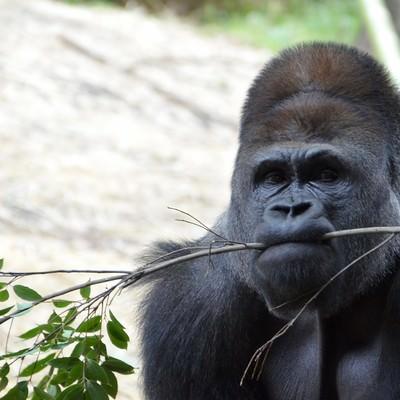 「枝を咥えるゴリラ」の写真素材