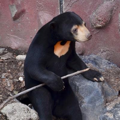 「棒を持つマレー熊」の写真素材