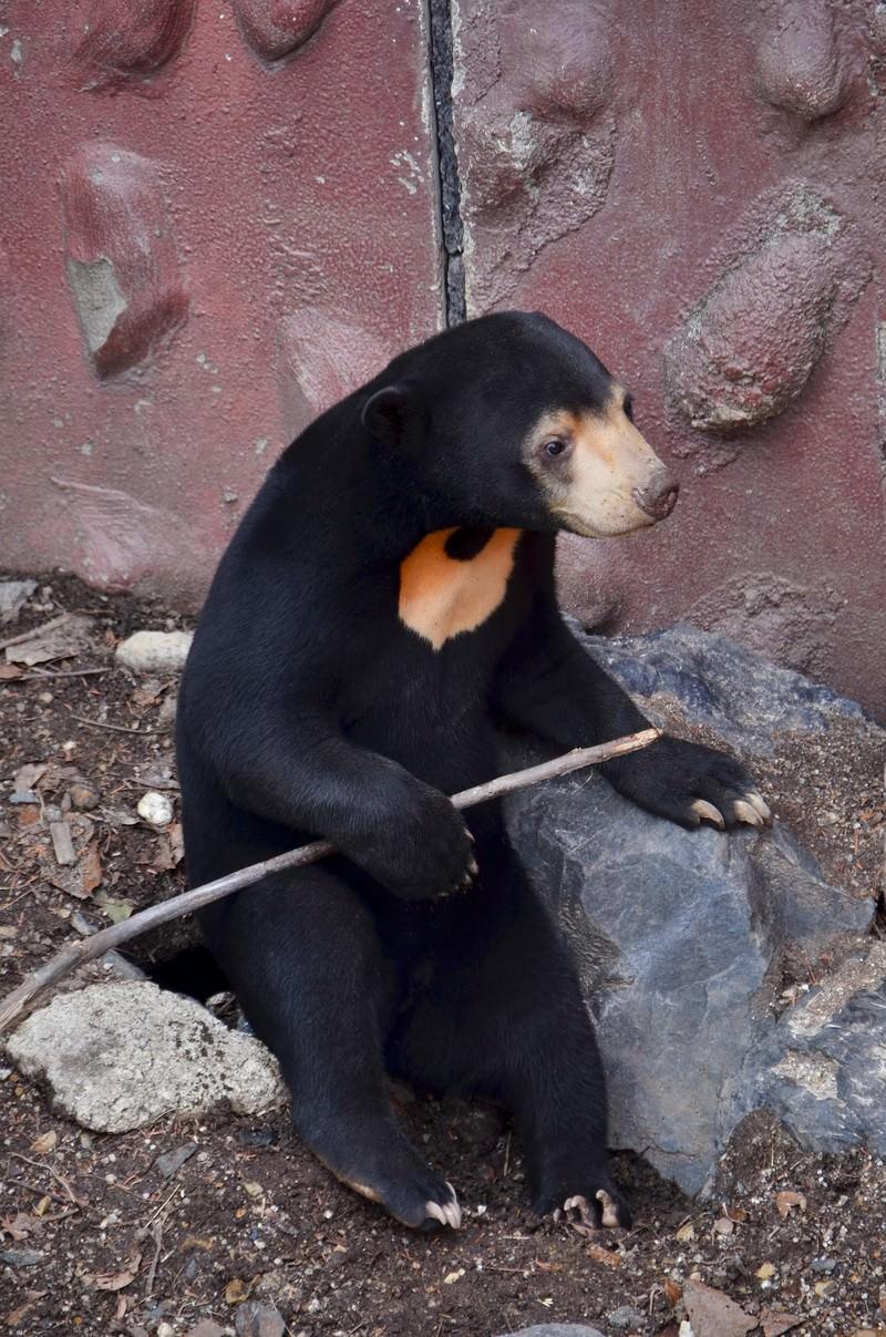 「棒を持つマレー熊」の写真
