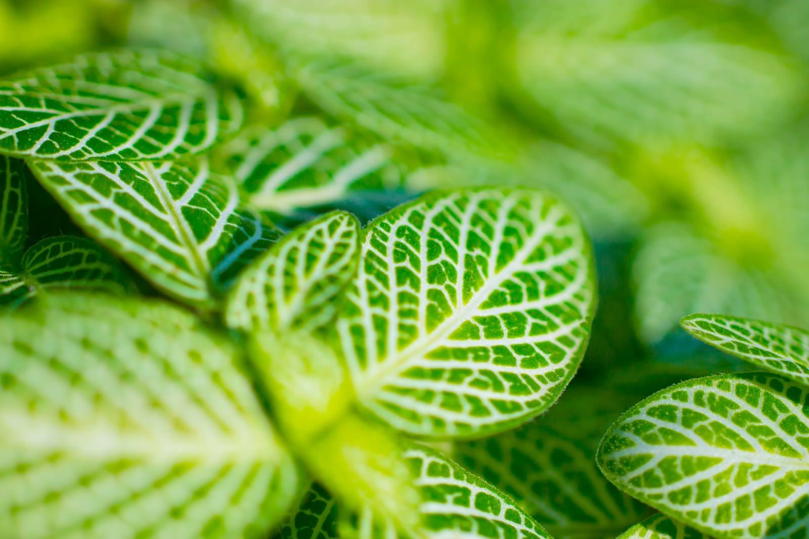 「緑の葉っぱ」の写真