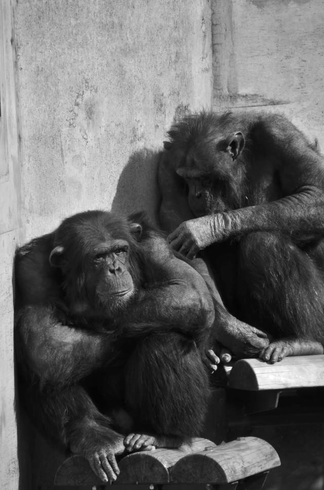 落ち込むチンパンジーの写真