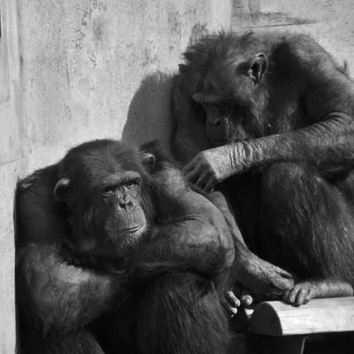 「落ち込むチンパンジー」の写真素材