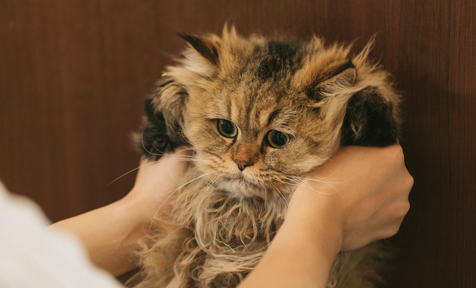 「猫ドン(ペルシャ猫)」の写真