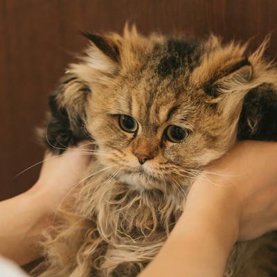 「猫ドン(ペルシャ猫)」の写真素材