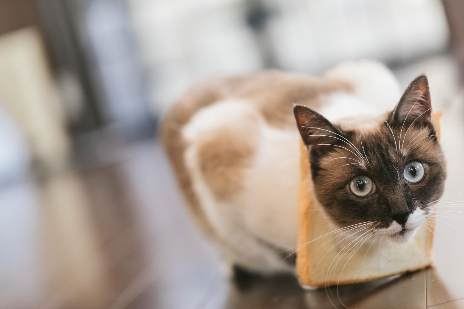 「食パンが見当たらない(猫)食パンが見当たらない(猫)」のフリー写真素材を拡大