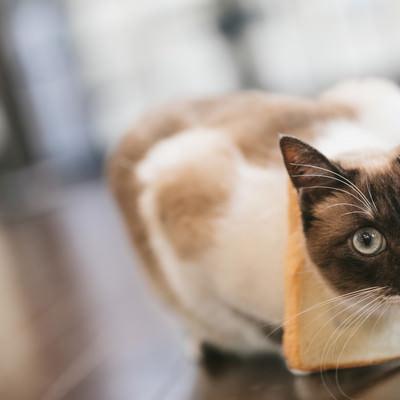 「食パンが見当たらない(猫)」の写真素材