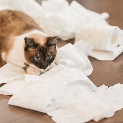 「テッシュを散らかし、満足げな猫」の写真素材