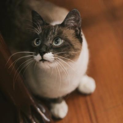 「家具の横から上を見上げる飼い猫」の写真素材