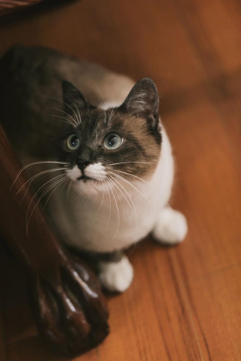 「家具の横から上を見上げる飼い猫」の写真