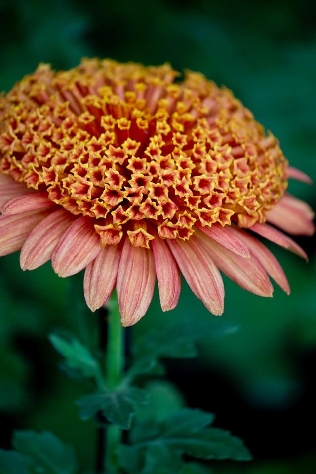 満開の大丁菊の写真