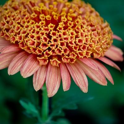 「満開の大丁菊」の写真素材