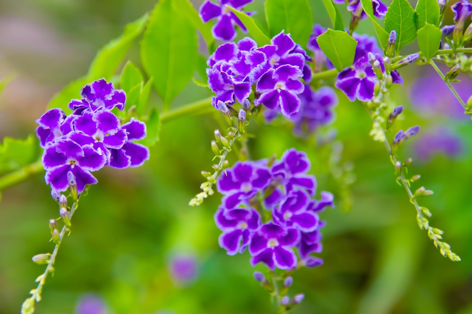 「紫色の小さなお花」の写真