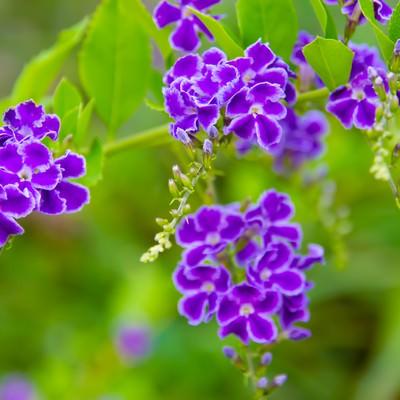 「紫色の小さなお花」の写真素材