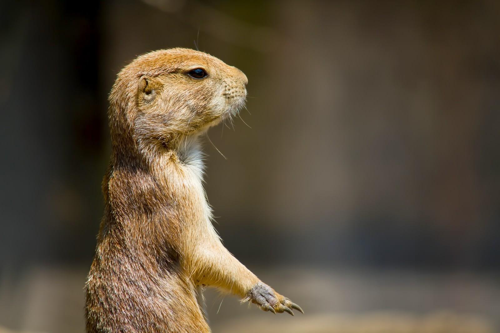 「立ち上がるプレーリードッグ」の写真